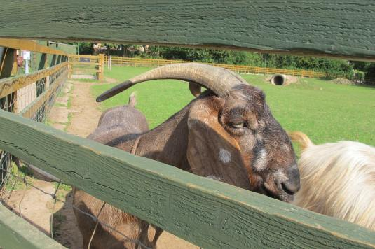 Hello Goat!