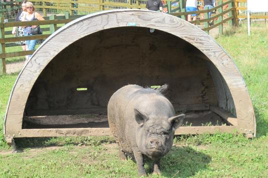 Piggy spotted at Stonebridge City Farm